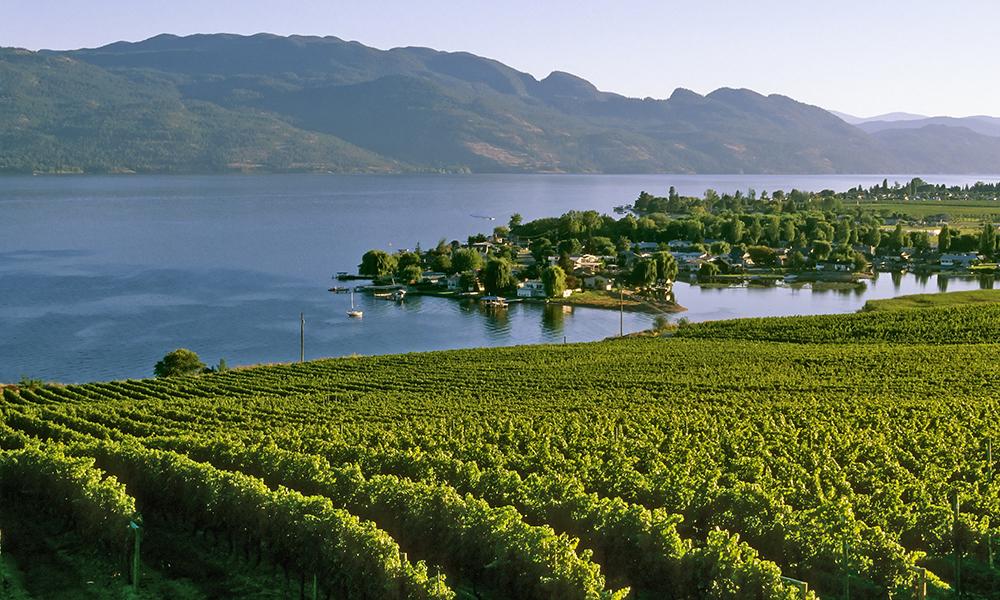 Vineyard on Okanagan Lake.