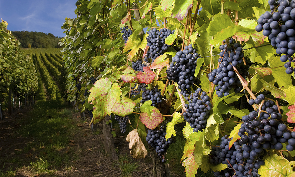 grapes in an vineyard.
