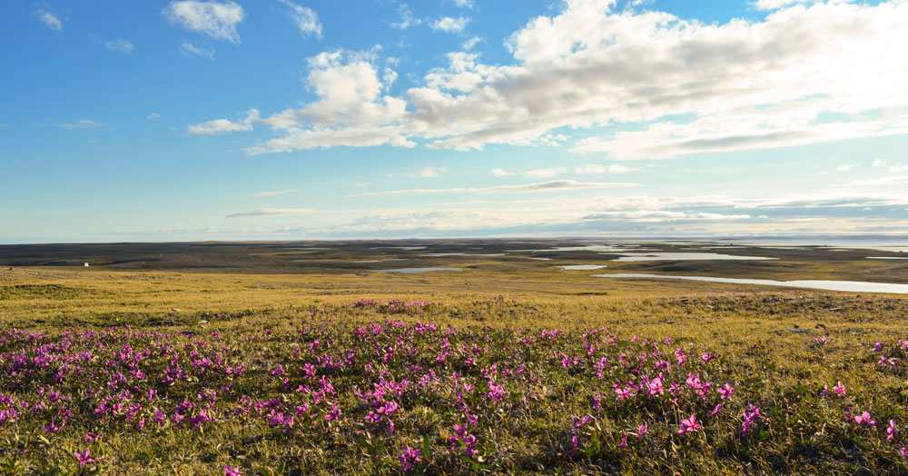 Landscape view of wildflowers in Nunavut.