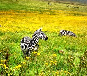 Zebras roaming free in Tanzania