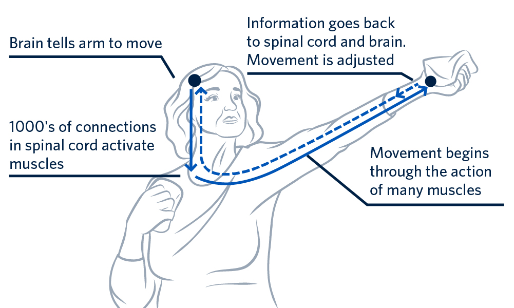 Graphic explaining how movement happens from the brain to the limb